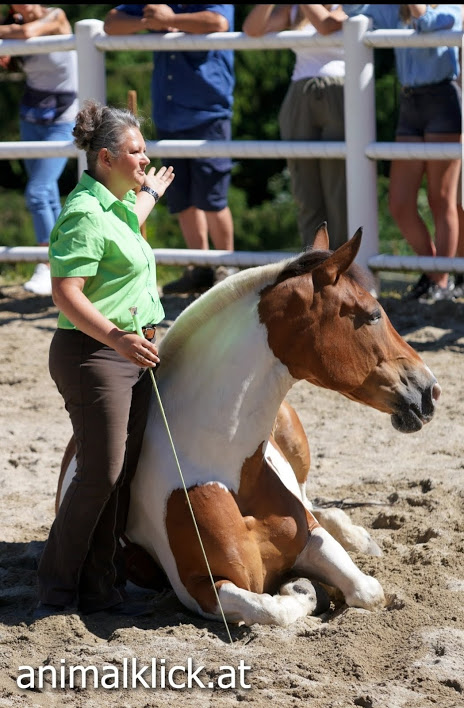 Natural-Horsemanship-horse-around,gerda-beer,pferdetraining, zirkuslektionen, pferd-liegen, friesengestüt-nockalm, schneeweiß